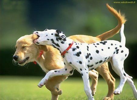 σκύλοι παίζουν