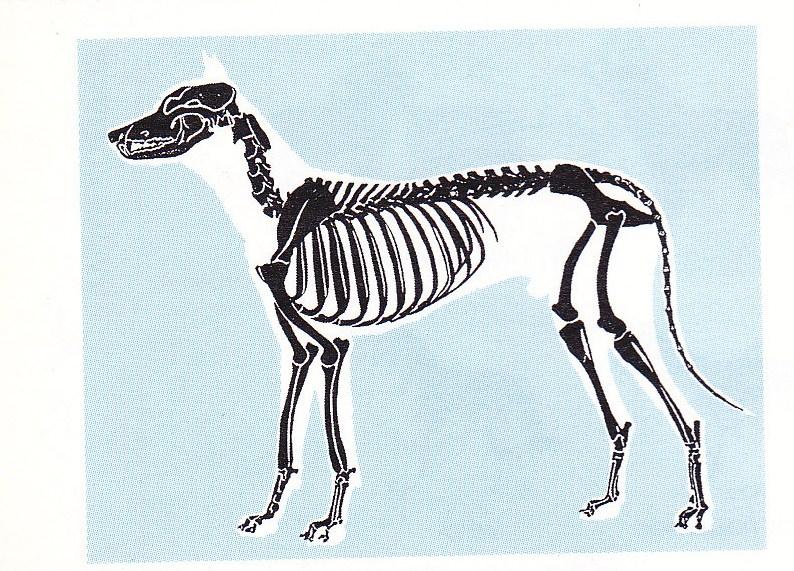 Ο σκελετός του σκύλου
