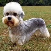 Dandie Didmont Terrier