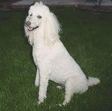 Poodle, Caniche