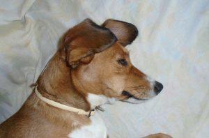 καθαρισμός αυτιών σκύλων
