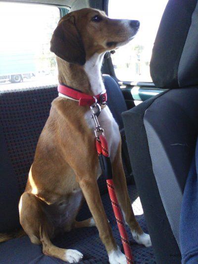 Συμβουλές για σκύλους που φοβούνται το αυτοκίνητο