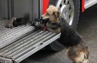 Μαμά σκυλίτσα σώζει τα κουτάβια της από φλεγόμενο σπίτι!