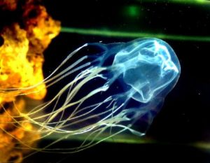 box-jellyfish sting