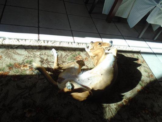 ο ήλιος για τους σκύλους