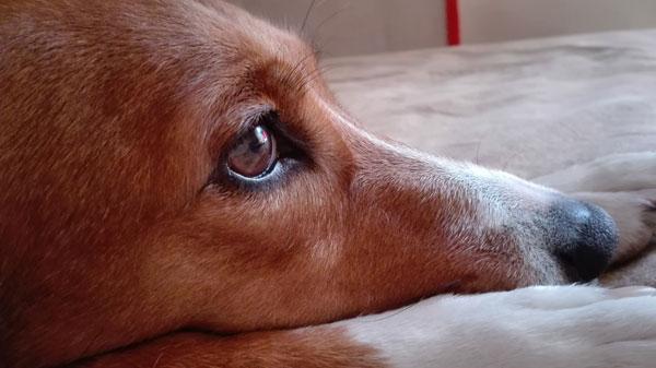 Τι προσφέρει το λάδι σολομού στους σκύλους