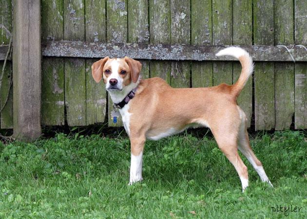 Γιατί σηκώνει την ράχη του ένας σκύλος;