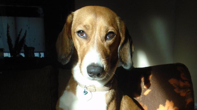 Τι σημαίνει το ρέψιμο στα σκυλιά;