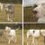 Σκύλος οδηγός τυφλών για μια τυφλή σκυλίτσα